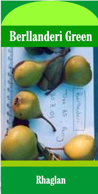 Berllanderi Green Pear (Raglan)