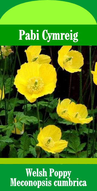 Welsh Poppy Flower (Pack of 100 Seeds)